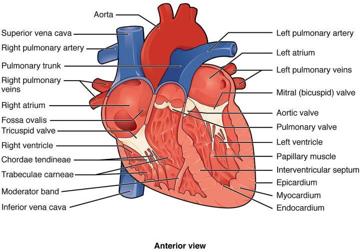 2008_Internal_Anatomy_of_the_HeartN